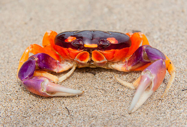 Tropical Land Crab in Costa Rica Tropical Land Crab in Costa Rica - Gecarcinus lateralis in Tamarindo, Guanacaste Province, Costa Rica nicoya peninsula stock pictures, royalty-free photos & images