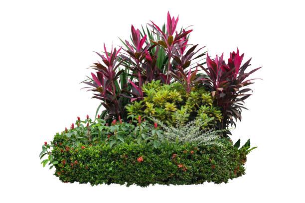 tropische tuin struik met verschillende soorten planten, bush van loof (cordyline, dracaena, croton) en bloei (ixora, rode knop gember) geïsoleerd op een witte achtergrond met uitknippad landschapsarchitectuur. - pauwenkers stockfoto's en -beelden