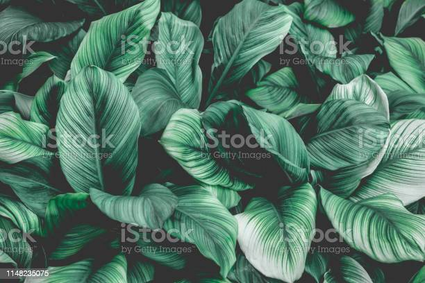Tropical leaf background nature background picture id1148235075?b=1&k=6&m=1148235075&s=612x612&h=sys0e5cz9qcuykfbcplhlt12tx6rhqvrzyucflgpm6e=