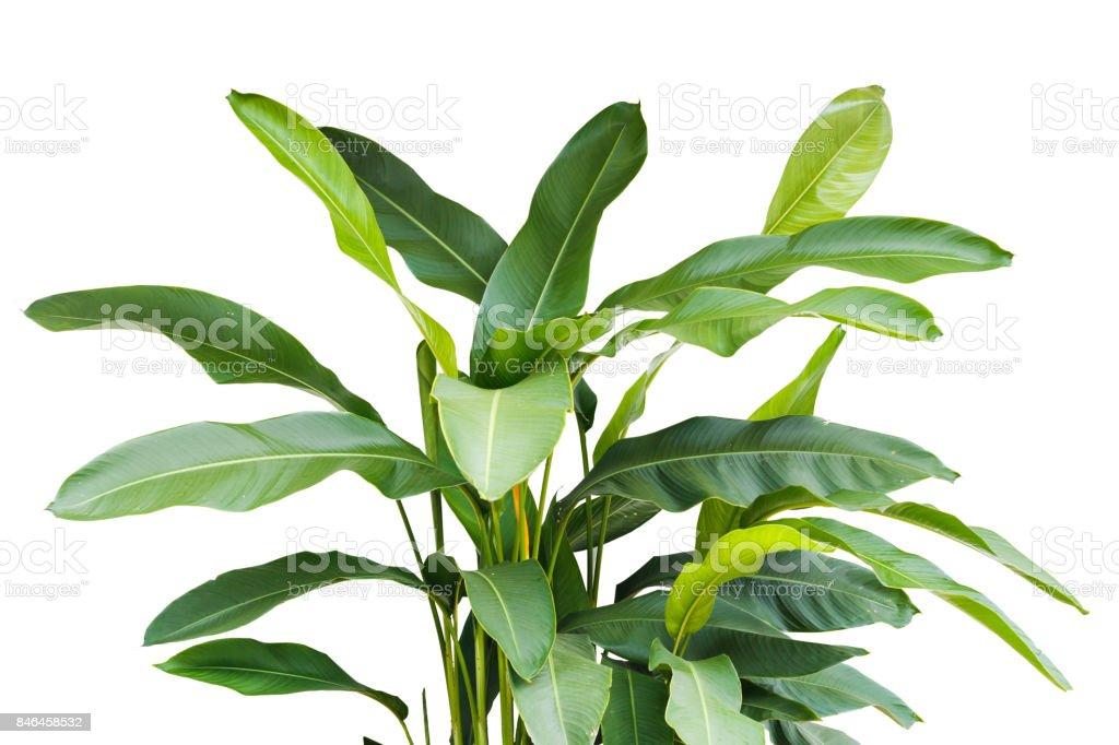 natureza tropical folha, verde isolada no fundo branco - foto de acervo