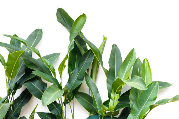 tropical leaf, green nature isolated on white background stock photo