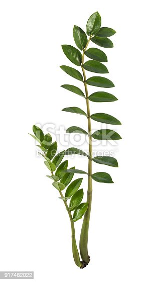 Isolated on a pure white background, studio shot of a tropical leaf composed of two steams. The file contains a clipping path to make an easy selection.