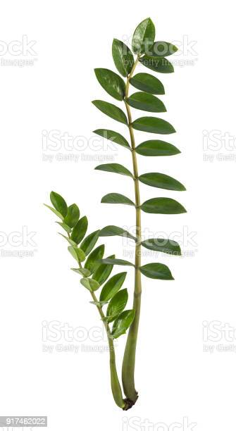 Tropical leaf isolated on white background with clipping path picture id917462022?b=1&k=6&m=917462022&s=612x612&h=eykydogykxryaoyvzrmxf8 0u544m320uwmzewxfwdy=