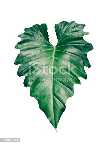 istock tropical leaf isolated on white 875644560