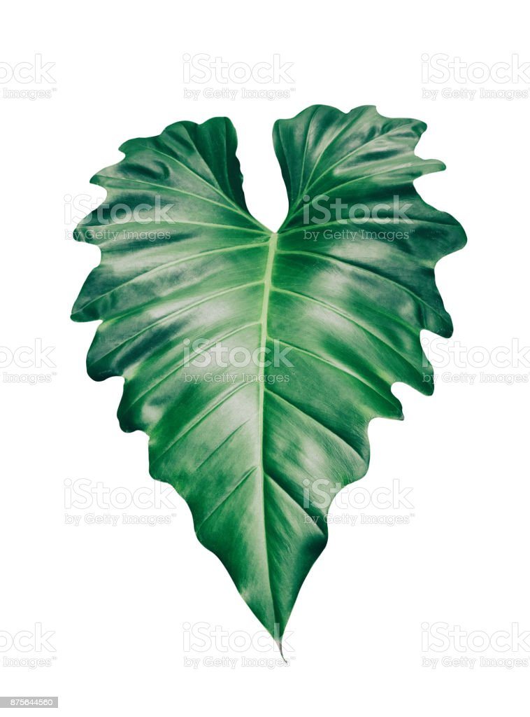 tropical leaf isolated on white stock photo