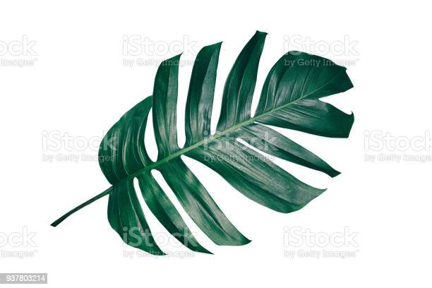 Tropical leaf isolated on white picture id937803214?b=1&k=6&m=937803214&s=612x612&h=rotnywbpzjbowvpyqno91bqnmgerqggpbll54ijp6qo=