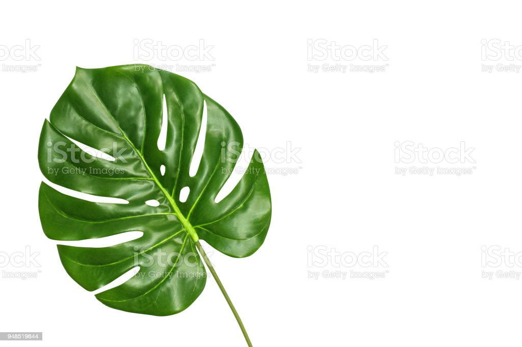 Tropical leaf monstera isolated on white background, top view. Summer fresh foliage concept with space for text. royalty-free stock photo