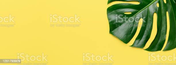 Tropical leaf monstera on yellow background horizontal banner mock up picture id1251793929?b=1&k=6&m=1251793929&s=612x612&h=pl2f pccnvfomejvgy1dcc3gfxe61t aope3py2eybm=
