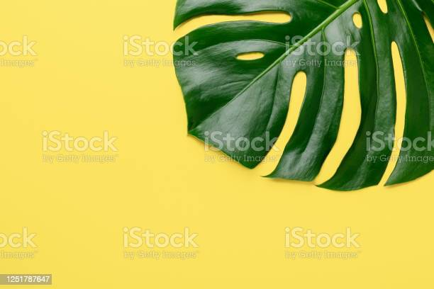 Tropical leaf monstera on yellow background top view flat lay banner picture id1251787647?b=1&k=6&m=1251787647&s=612x612&h=5azh5vztvwm895osp1sjl jtpjhqf2b0o y0dnrsbf8=