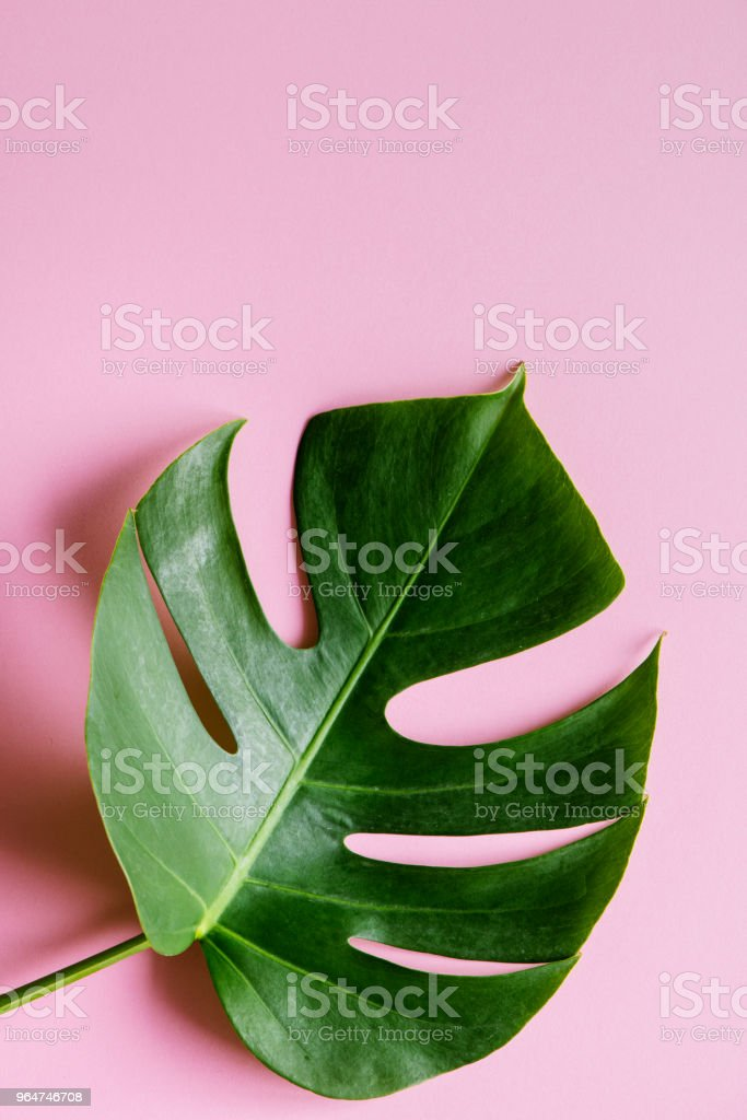 Tropical leaf on pink background royalty-free stock photo