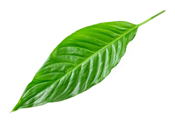 Tropical leaf on white background Tropical leaf on white background theobroma stock pictures, royalty-free photos & images