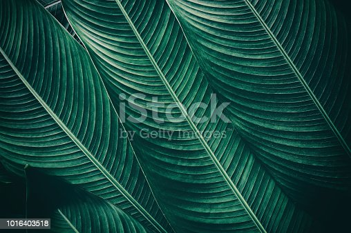 909846922 istock photo tropical leaf texture backgrounds, dark green toned 1016403518