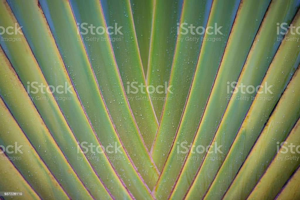tropical leaf texture, large palm foliage nature green background стоковое фото