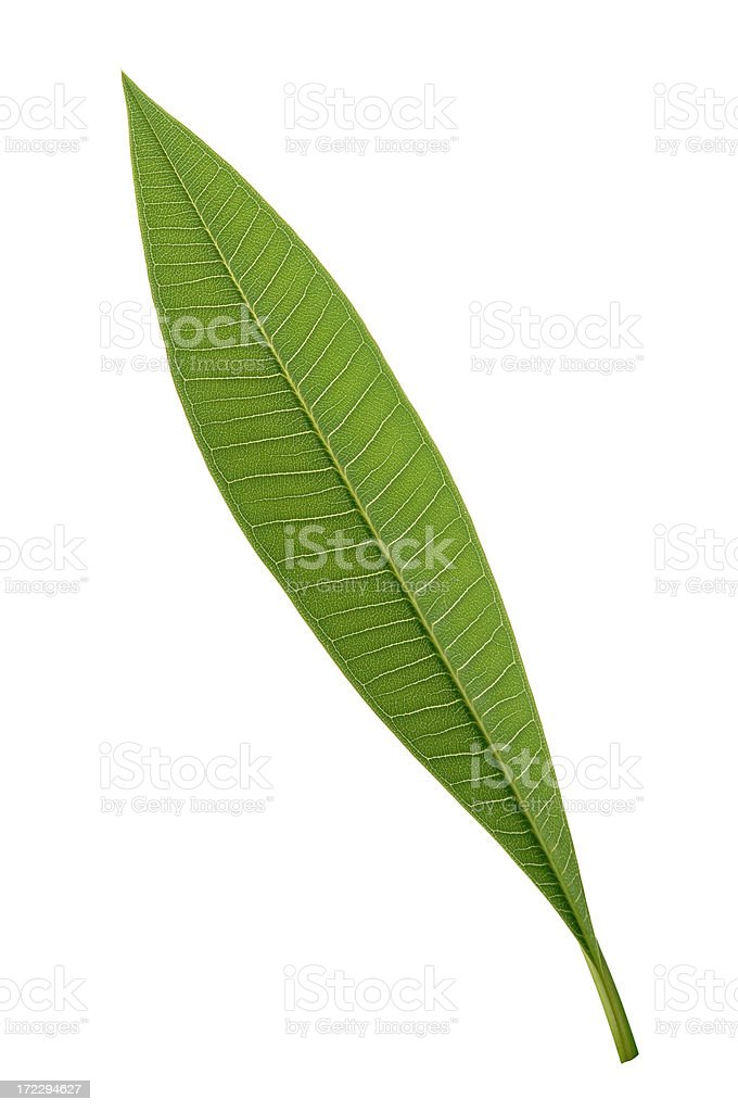 Tropical Leaf with Path royalty-free stock photo