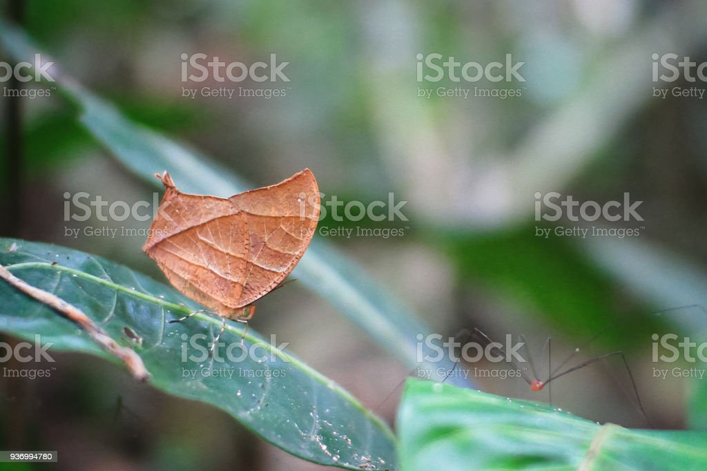 Tropical Leafwing Butterfly in Costa Rica stock photo