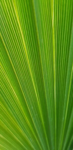 tropische verlassen textur, nahaufnahme, selektiver fokus. grüne palme verlassen textur, selektiver fokus. grüne kokosnuss verlassen hautnah hintergrund. tropische palmblattstruktur mit kontrastreichen linien, die ausstrahlen. - palmwedel stock-fotos und bilder