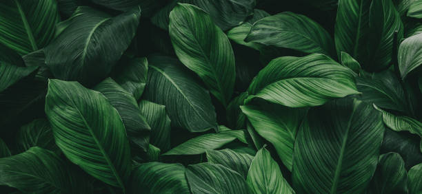 tropical leaves, abstract green leaves texture, nature background abstract green leaf texture, nature background, tropical leaf lush foliage stock pictures, royalty-free photos & images