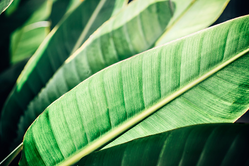 Tropical Leaves Background Closeup Stock Photo Download Image Now Istock Find the perfect tropical leaves stock photo. https www istockphoto com photo tropical leaves background close up gm1130577464 299058166