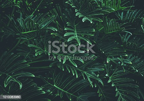 Tropical leaves background,jungle leaf close up