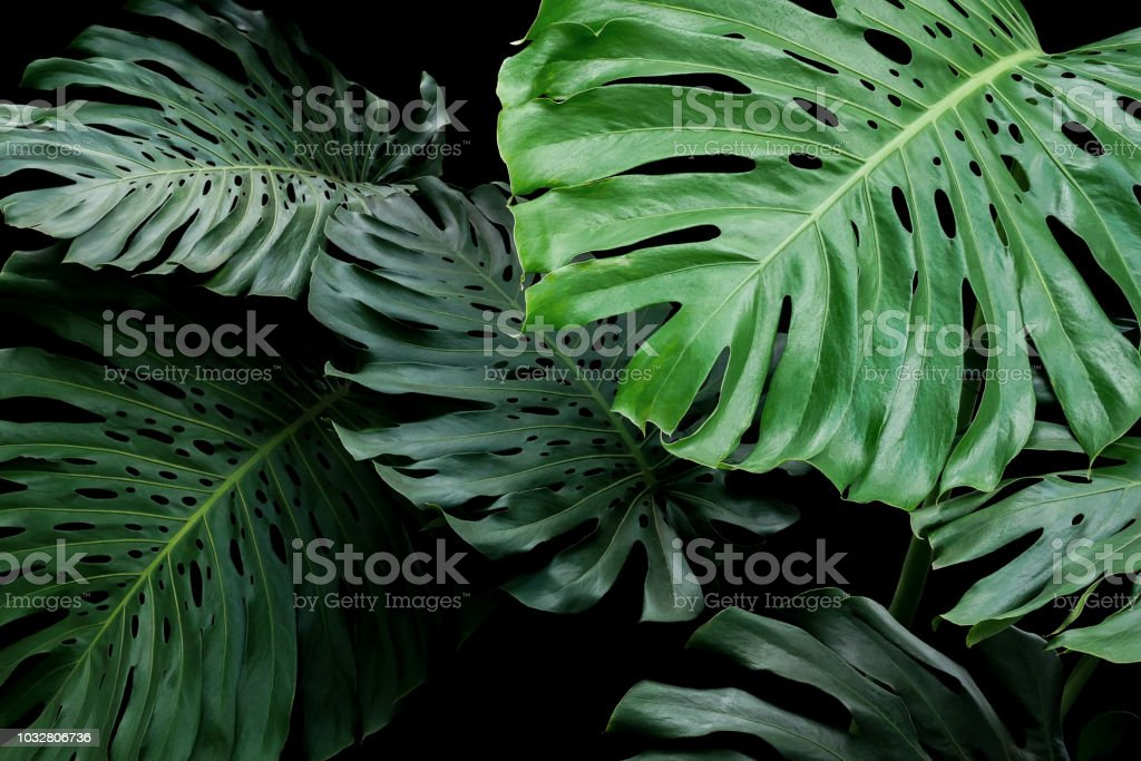 Tropical Leaves Exotic Floral Pattern Of Split Leaf Philodendron Monstera The Forest Foliage Plant On Black Background Stock Photo Download Image Now Istock Tropical rainforests are found near the equator, and these hot and humid biomes are collectively home to over 15 million types of plants and animals: tropical leaves exotic floral pattern of split leaf philodendron monstera the forest foliage plant on black background stock photo download image now istock