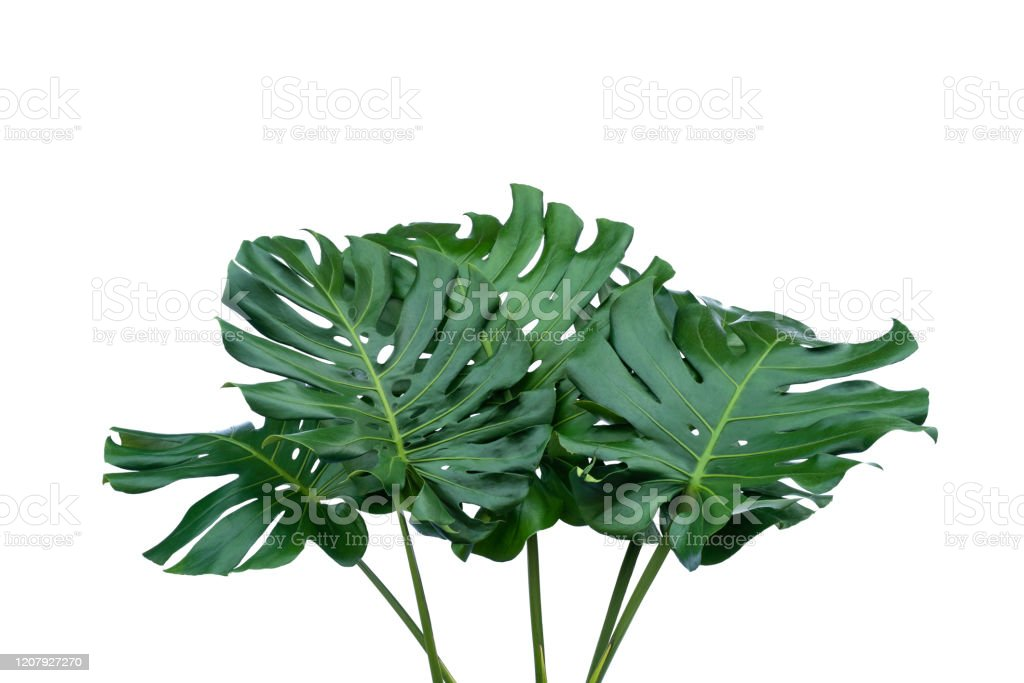 Tropical Leaves Foliage Plant Bush Floral Arrangement Nature Backdrop Isolated On White Background Stock Photo Download Image Now Istock Green tropical leaves of monstera, fern, and palm fronds the rainforest foliage plant bush floral arrangement on dark. https www istockphoto com photo tropical leaves foliage plant bush floral arrangement nature backdrop isolated on gm1207927270 348959390