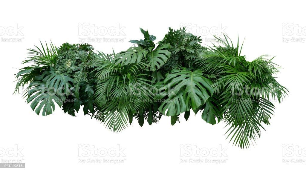 Tropical deja planta de follaje bush arreglo floral natural telón de fondo aislado sobre fondo blanco, clipping camino incluido. foto de stock libre de derechos