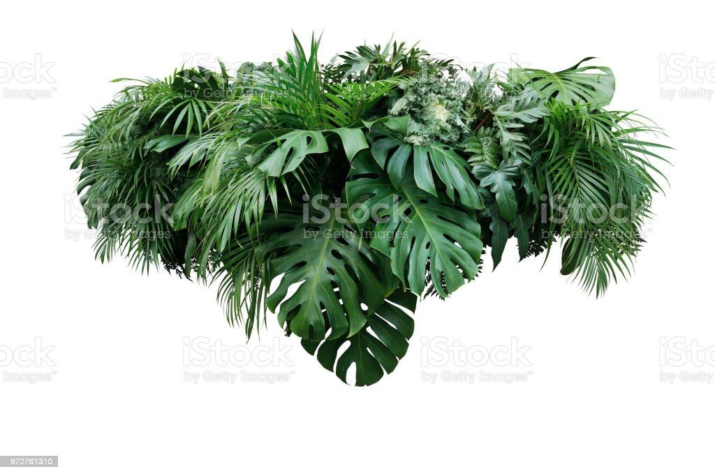 Tropical leaves foliage plant jungle bush floral arrangement nature backdrop isolated on white background, clipping path included. stock photo