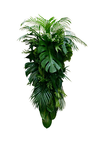 Tropical leaves foliage plants bush (Monstera, palm, rubber plant, pine, fern and philodendron leaves) floral arrangement indoors vertical garden nature backdrop isolated on white with clipping path.
