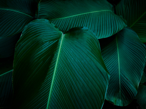 Giant green tropical Leaves in the primal forest of Costa Rica