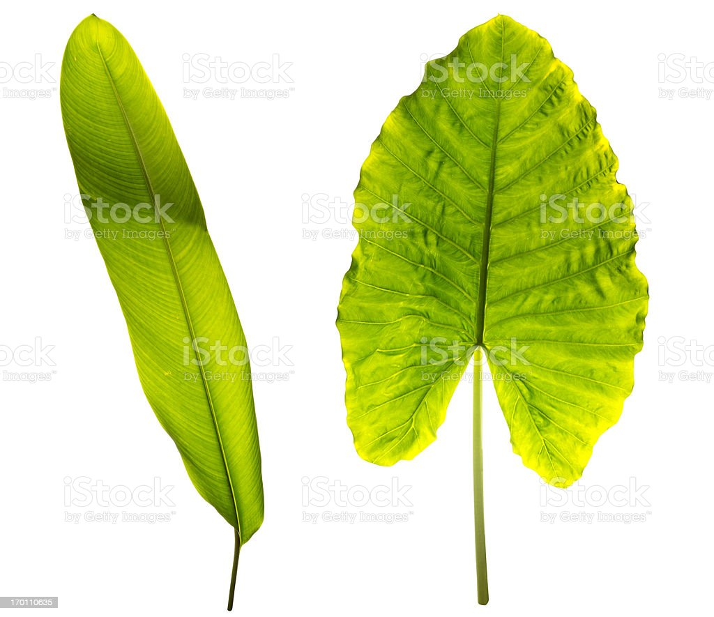 Tropical leaves isolated on white with clipping path stock photo