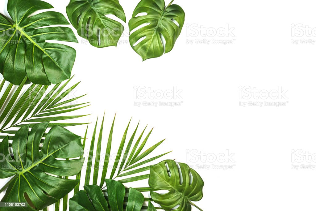 Tropical Leaves Monstera And Palm Isolated Swiss Cheese Plant Isolated On White Background Stock Photo Download Image Now Istock Hand drawn tropical leaves png transparent background. tropical leaves monstera and palm isolated swiss cheese plant isolated on white background stock photo download image now istock