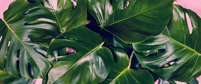 Tropical Leaves Monstera On Colorful Background Stock Photo - Download Image Now