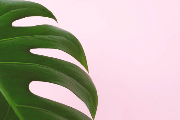 Tropical leaves monstera on pink background close up flat lay minimal picture id1220559985?b=1&k=6&m=1220559985&s=612x612&w=0&h=yt7egehyyfvjmymwqgmv cpjieazeydsutevhplx7dk=