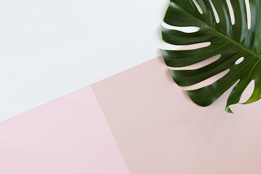 Tropical leaves Monstera on white and pink pastel background with copy space. Flat lay, top view