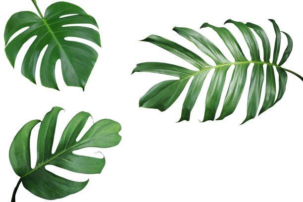 tropical leaves nature frame layout of monstera and split-leaf philodendron the exotic foliage plants isolated on white background, clipping path included. - tropical leaves stock photos and pictures