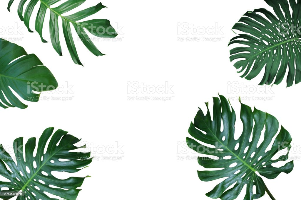 Tropical leaves nature frame layout of Monstera deliciosa, split-leaf philodendron, and pothos the exotic plants on white background. stock photo