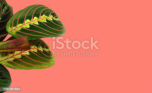 tropical leaves of Calathea on a background in colour of the year 2019 Living Coral. Main trend natural and authentic concept. Calathea Maranta, Red Prayer plant.Tropical foliage.