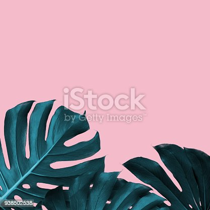 istock Tropical Leaves of monstera on a pink duotone background 938502538