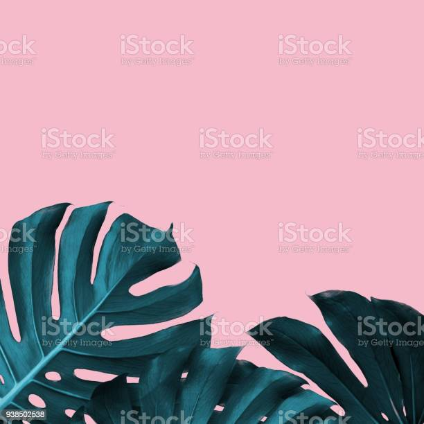 Tropical leaves of monstera on a pink duotone background picture id938502538?b=1&k=6&m=938502538&s=612x612&h=qmifrvzfeby 03lmiadvd6k5wqvfypstwpn5tjuojzc=