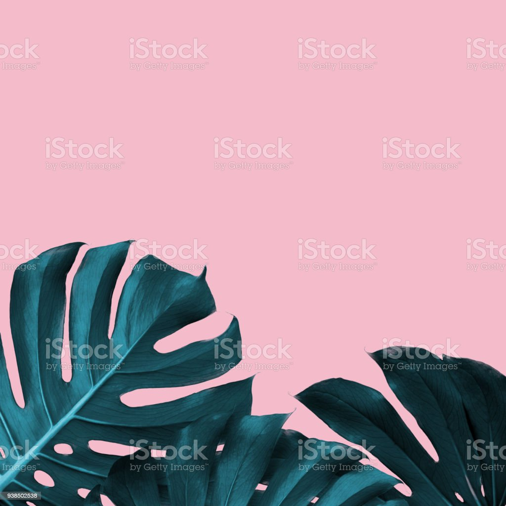 Tropical Leaves of monstera on a pink duotone background stock photo