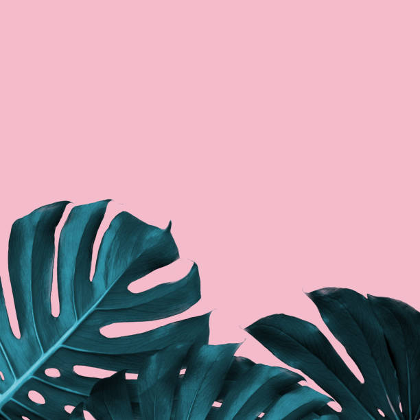 tropical leaves of monstera on a pink duotone background - tropical leaves stock photos and pictures