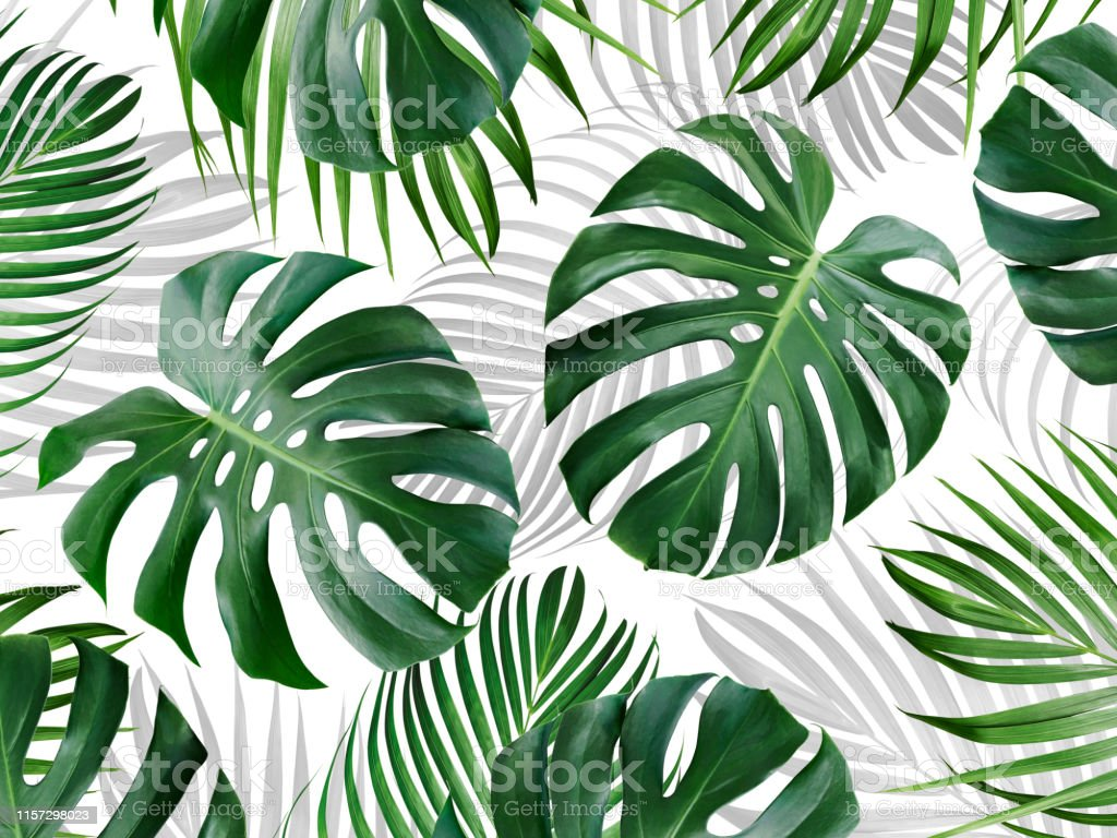 Tropical Leaves Pattern Background Design Of Monstera And Yellow Palm Summer Banner Stock Photo Download Image Now Istock Download transparent tropical leaves png for free on pngkey.com. tropical leaves pattern background design of monstera and yellow palm summer banner stock photo download image now istock