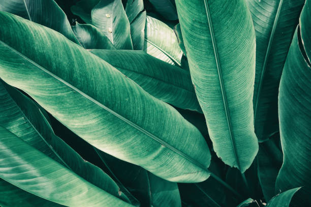 tropical leaves - lush foliage stock pictures, royalty-free photos & images