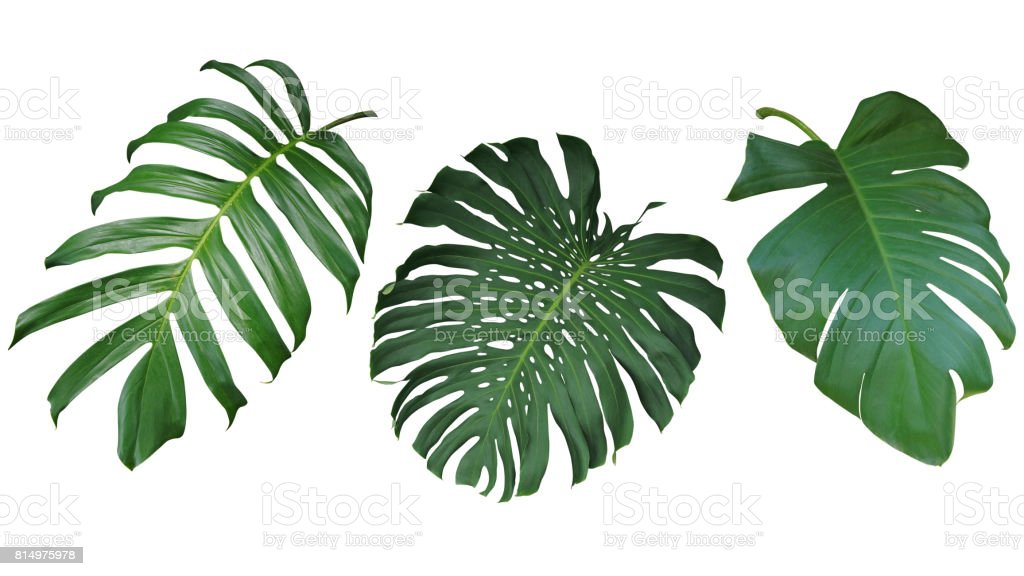 Tropical leaves set isolated on white background, clipping path included. Green leaves of Philodendron, Monstera, and Pothos the evergreen vine plant. stock photo