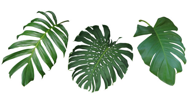 tropical deja conjunto aislado sobre fondo blanco, clipping camino incluido. verde hojas de philodendron, monstera y potos la planta de hoja perenne vid. - despedida fotografías e imágenes de stock