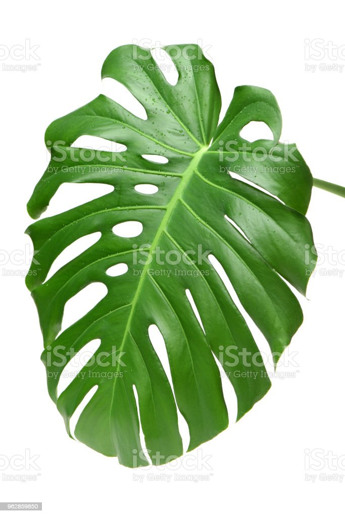 Tropical leaves set isolated on white background, clipping path included. Green leaves of Philodendron, Monstera, and Pothos the evergreen vine plant stock photo