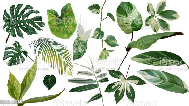 Tropical leaves variegated foliage exotic nature plants set isolated picture id1002921188?b=1&k=6&m=1002921188&s=612x612&h=ayeqiku0b9lhqlkiksmg6rd94tu69tfdhtzi4ztoqhs=