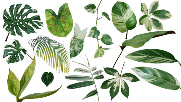 Tropical leaves variegated foliage exotic nature plants set isolated on white background, clipping path with plant common name included (Monstera, palm leaf, Devil's ivy, ginger, bamboo, etc.). stock photo