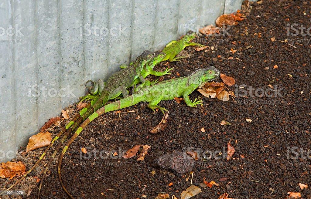tropical lizards stock photo