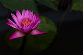 Closeup shot of bright pink purple Lilly flower with green leaves and dark background